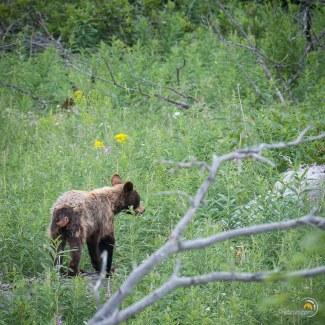 Mon seul jeune ours. Désolé, je n'ai pas réussi à lui tirer le portrait. Je me suis même fait gronder par le Ranger qui trouvait que je m'approchais trop près...