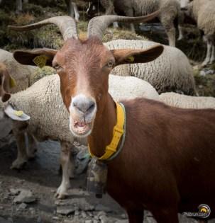 Cette chèvre est très familière. J'aurai pu lui faire un fond d'œil sans qu'elle ne bronche !