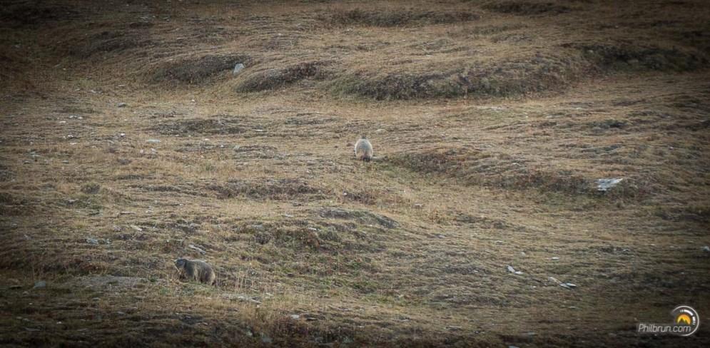 Les marmottes sont partout lors de la montée au col. Elles détallent à notre approche...