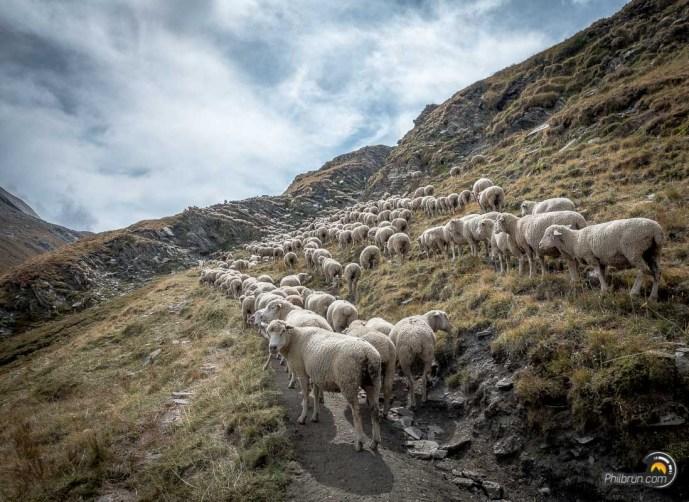 Il nous faudra néanmoins faire quelques efforts pour arriver à franchir ce grand troupeau qui avait envahit l'ensemble du sentier !