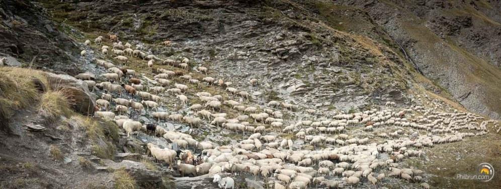 Nous croisons ce grand troupeau avec son très gentil berger.