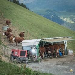Traite des vaches industrialisée