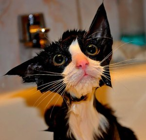 soaking wet cat
