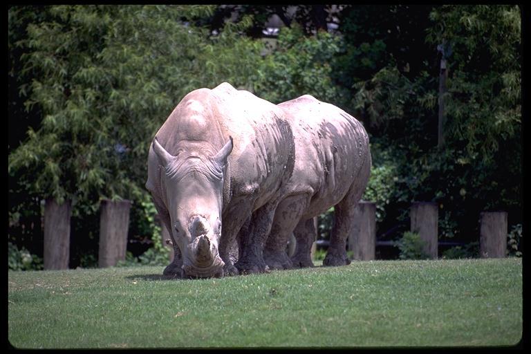New Orleans ZooRhinos