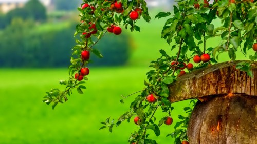 Beautifull-Apple-Tree-HD-Wallpapers