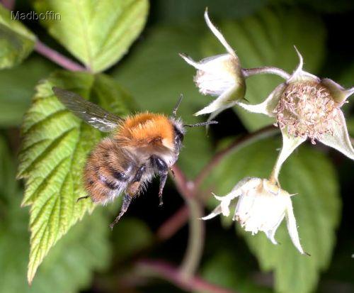 peter-mobbs-bee