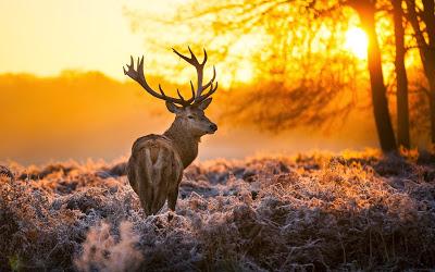stag at sunrise
