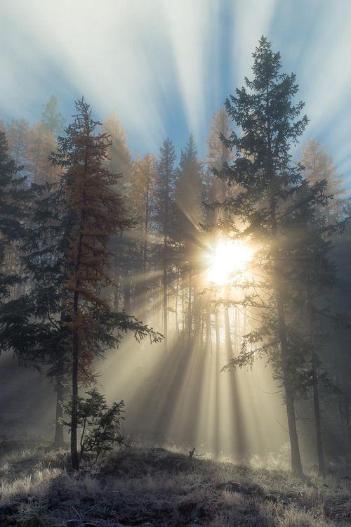 sun rays through pines