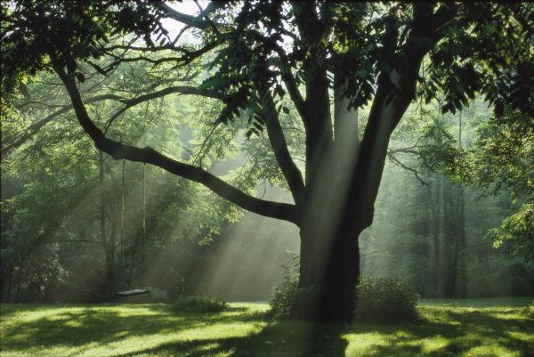 walnut-tree1