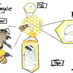 Diagram Of A Queen Bee 11 Pin Timer Relay Wiring The Life Cycle Honey Star