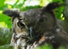 Great Horned Owl front view