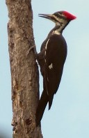 Pileated 7 by Herman