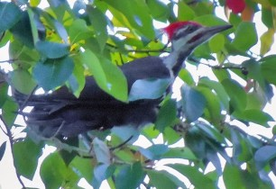 Pileated in tree with berries by Herman