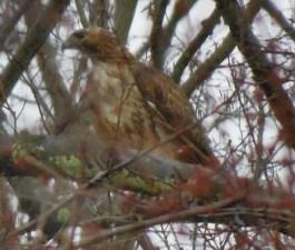 red-tailed hawk near woodland pond