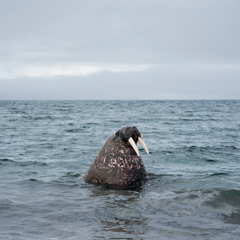Philip Kanwischer walrus photography surreal art work arctic Svalbard leave residency
