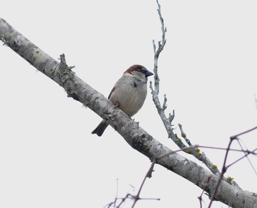 House Sparrow Houston County Texas
