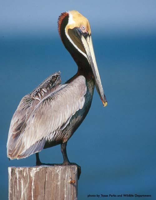 brown_pelican390