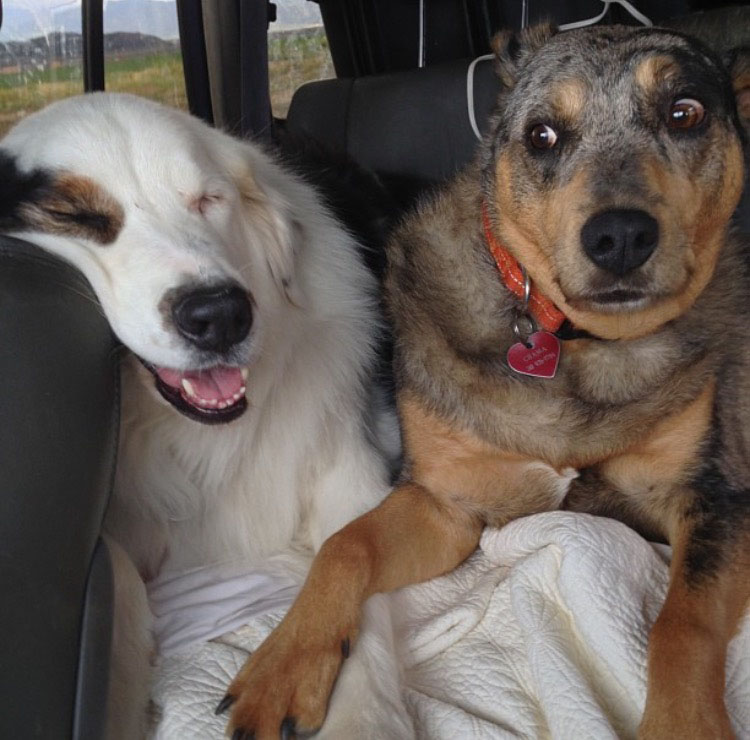 During an 18-hour road trip, Levi (left), an Australian Shepherd, and Chama (right), a Blue Healer mix, slump down in the back of the car.