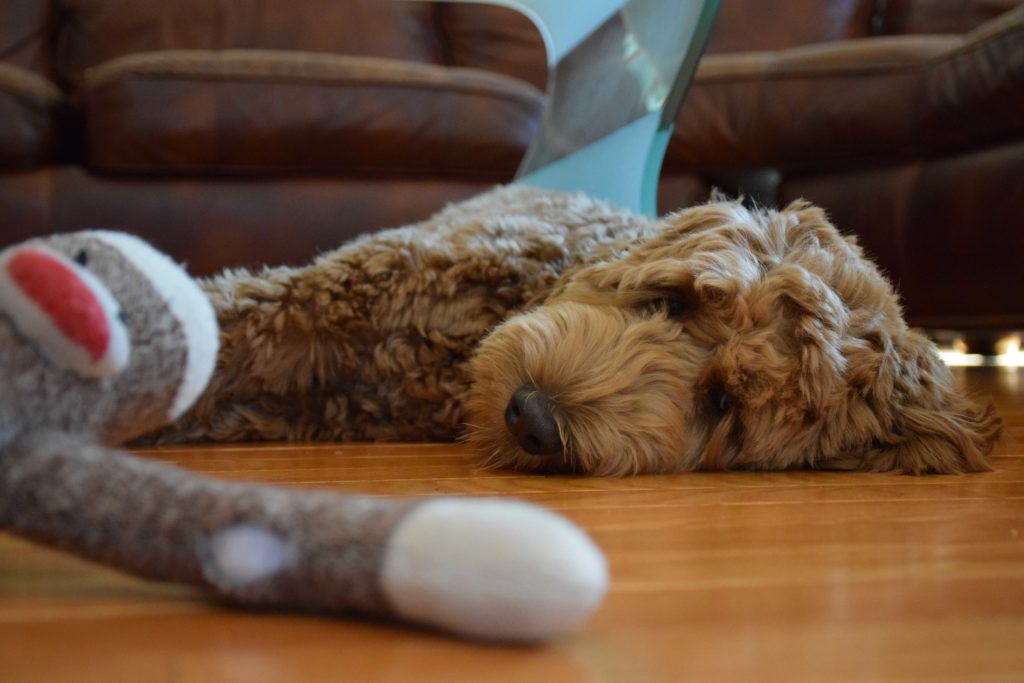 Bosky stares tiredly at his favorite toy after a bout of playing.