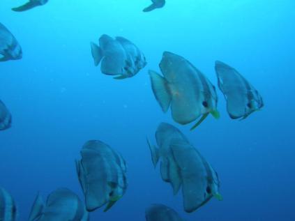 Roundface baitfish (Platax terra), Ribbon Reef, Somosomo Strait, Fiji. April 2013