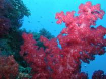 Soft coral, White wall, Rainbow Reef, Somosomo Strait, Fiji. April 2013