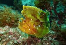 Leaf scorpionfish, Julian Rocks, NSW