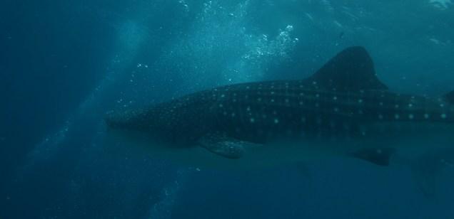 Whale shark, Oslob, Philippines