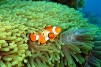 Clown anemonefish, Phillippines