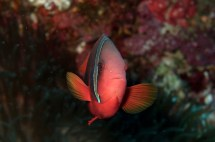 Black anemonefish