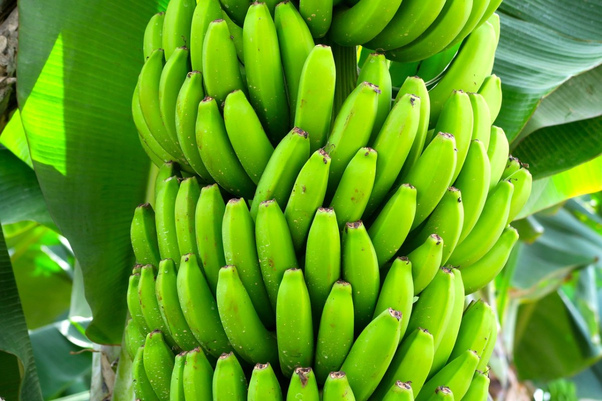 Scientists Warn Bananas May Face Extinction Due to Lack of Genetic Diversity