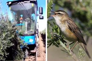 Song birds and olive farming