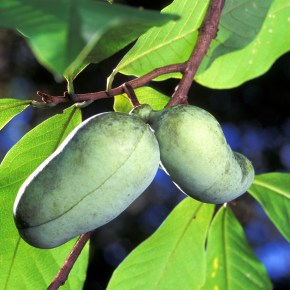 In Praise of the Pithy Pawpaw