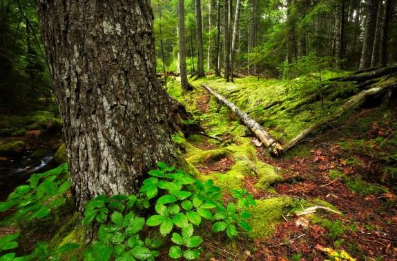 Maine Woods - 17-6