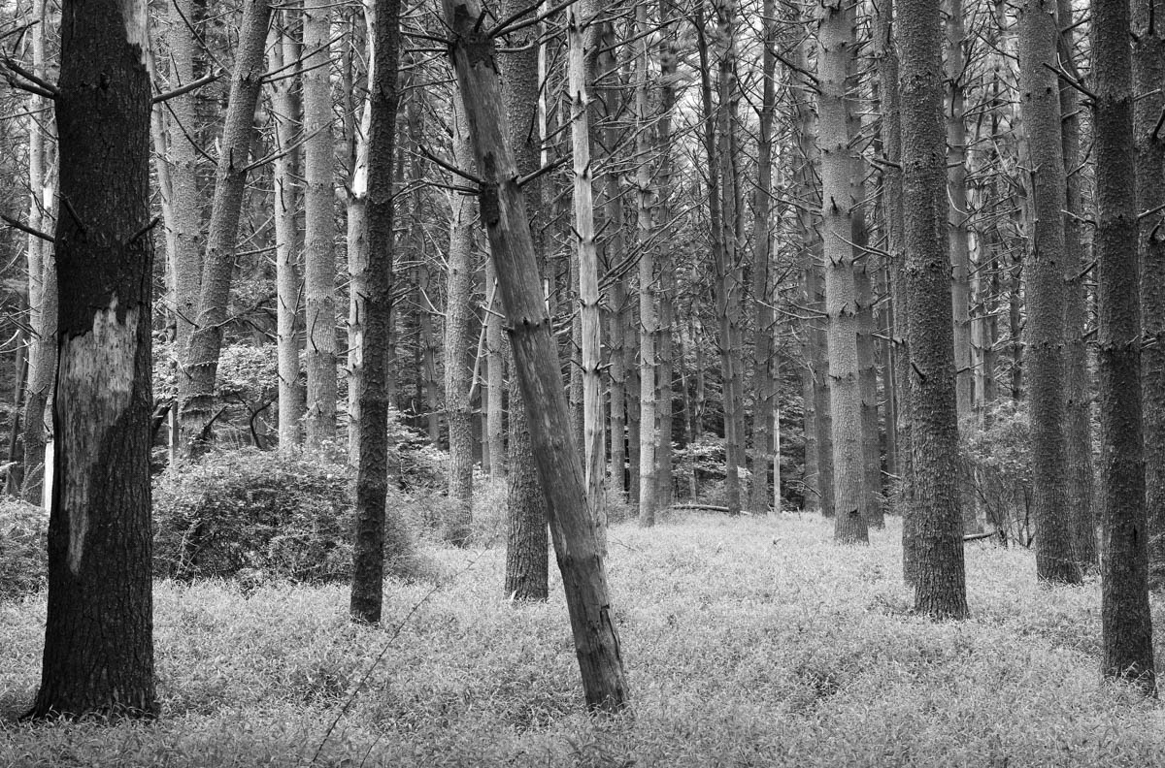 Forest Scene in Black & White