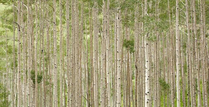 straight on photo of aspen grove