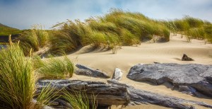 beach grass bent to the wind on oregon coast