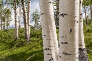 close up of aspen trees