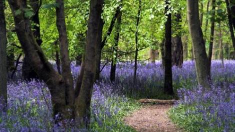 a-bluebell_path-998275