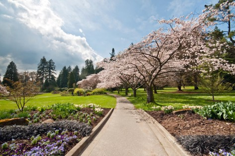 Beautiful-Cherry-Blossom-Trees-at-Stanley-Park