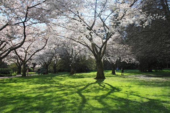 stanley-park-cherry-blossom-pierre-leclerc