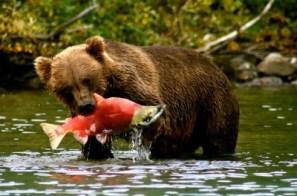 bearalaska-brown-bear-socke1-400x264