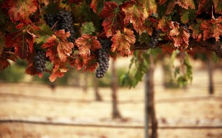 6946782-grapes-autumn