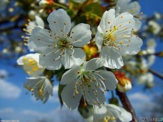 apple_tree_flowers_1024x768