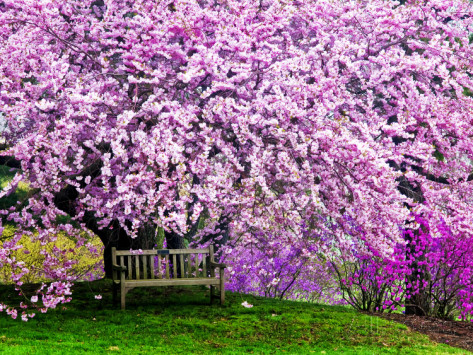jay-o-brien-wooden-bench-under-cherry-blossom-tree-in-winterthur-gardens-wilmington-delaware-usa