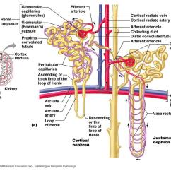 Nephron Diagram From A Textbook Yanmar Alternator Wiring Metaphysics  The Brains Blog