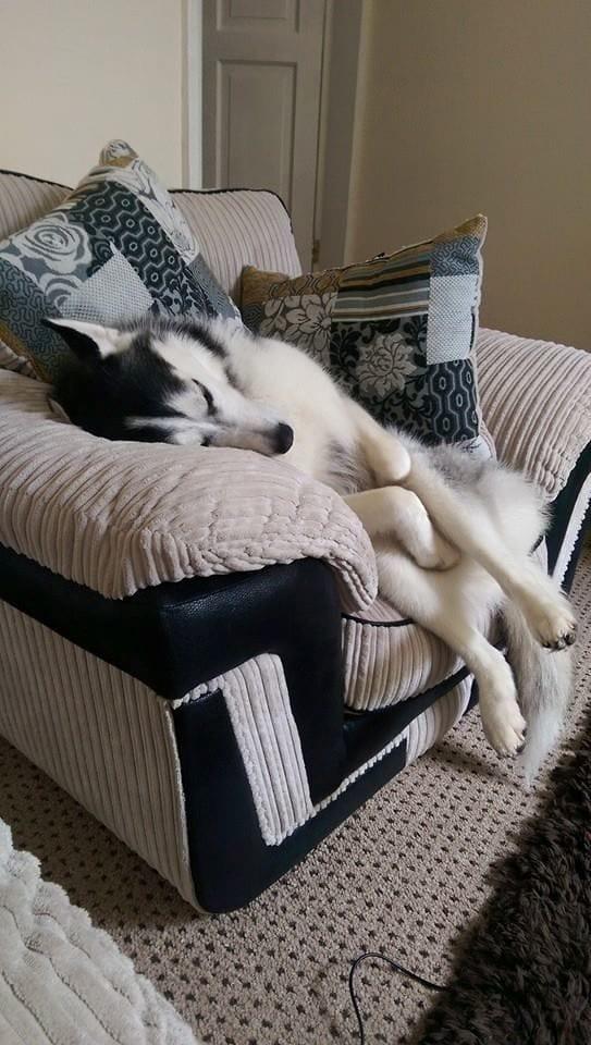Sleeping Husky