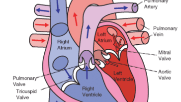 Heart Circulation Pattern