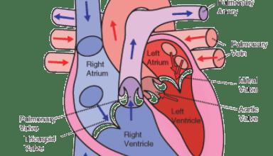 Heart Circulation Pattern