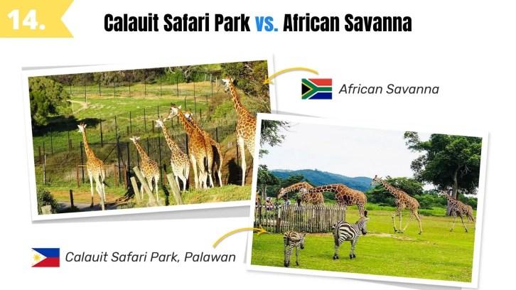 calauit safari park palawan vs african savanna