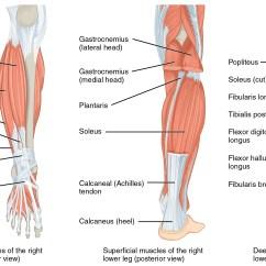 Medial Lower Leg Muscles Diagram Simple Pedigree Limb Anatomy